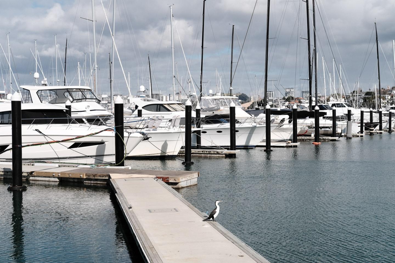 Shag at Westhaven Marina